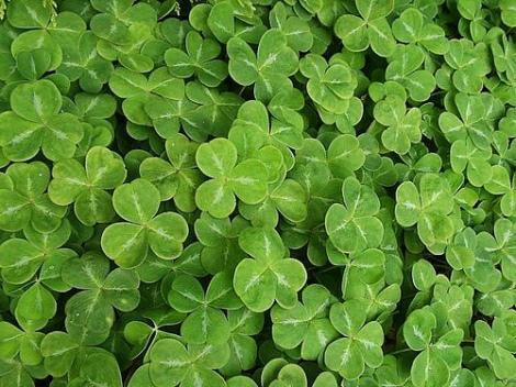 St Patricks clover